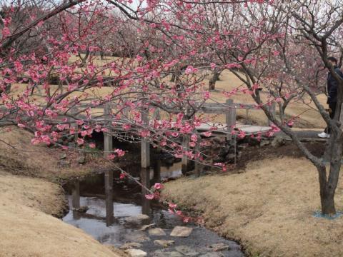小田原フラワーガーデン 渓流の梅園