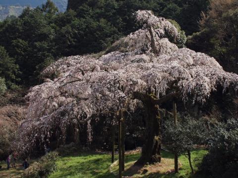 長興山しだれ桜1