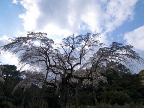長興山しだれ桜2