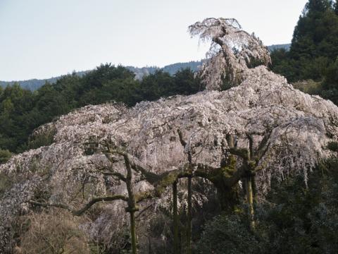 長興山しだれ桜3