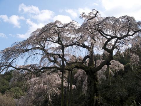 長興山しだれ桜4