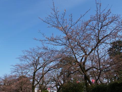 小田原城址公園の桜1