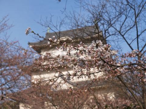 小田原城址公園の桜4