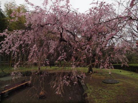 荒井城址公園のしだれ桜2