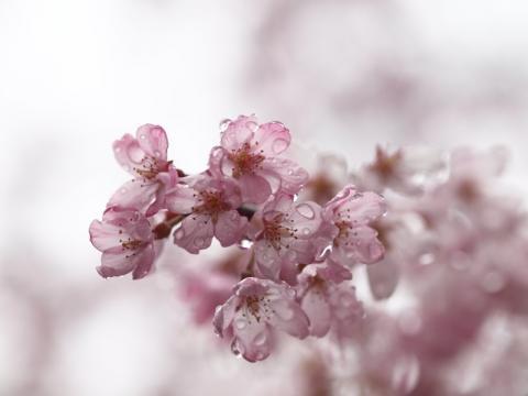 荒井城址公園のしだれ桜3