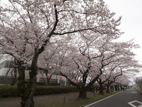 印刷局小田原工場桜並木3