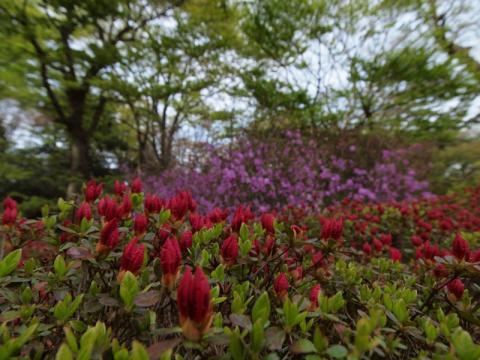 蓬莱園 つつじの開花状況