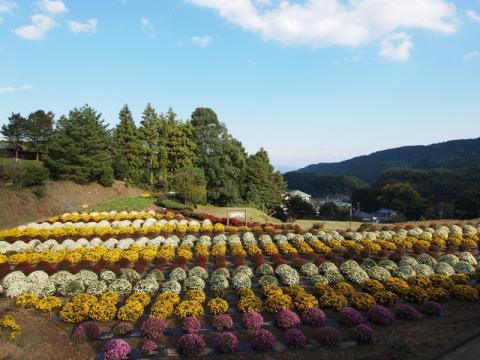 里山散歩 ざる菊