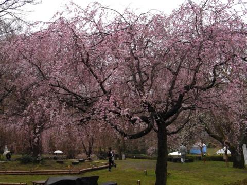 荒井城址公園のしだれ桜1