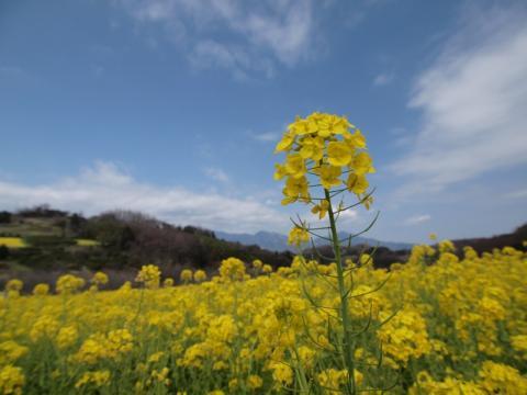 大井町篠窪の菜の花1