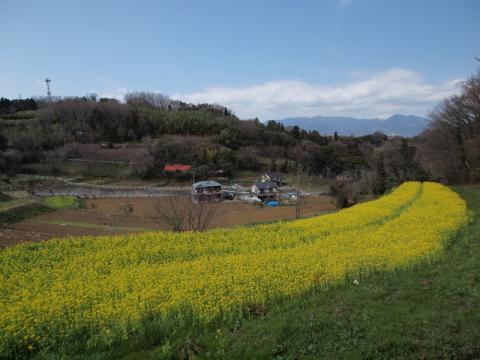 大井町篠窪の菜の花2