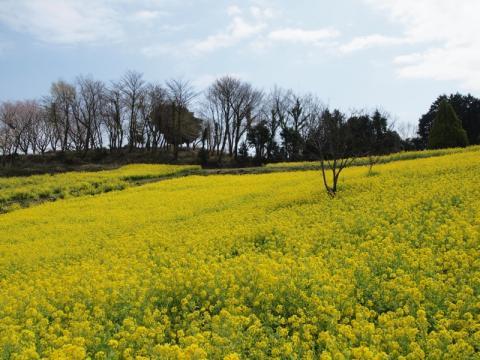 大井町篠窪の菜の花4