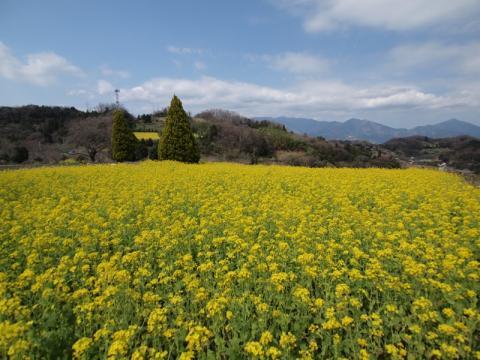 大井町篠窪の菜の花5