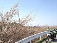 sakura_bike1.jpg