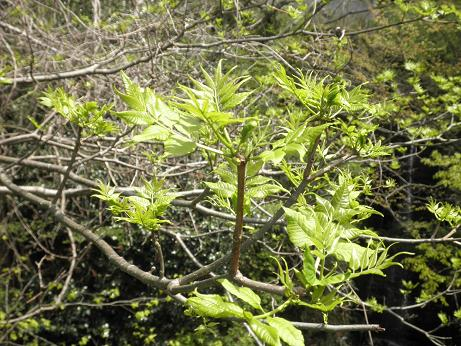 ウドの大木