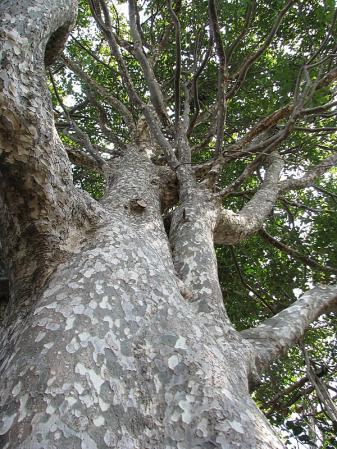 038-001鹿ノ子の木