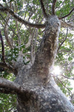 037-001鹿の子の木