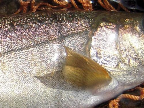 岩魚拡大0521-2