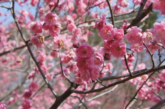 梅の里公園 アップ