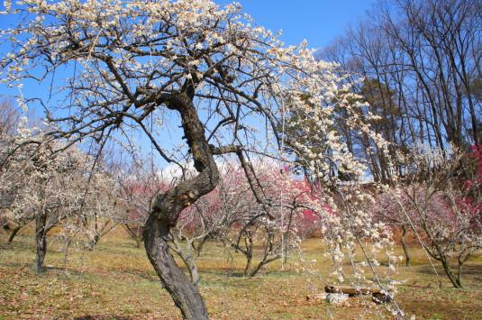 梅の里公園 枝垂れ梅