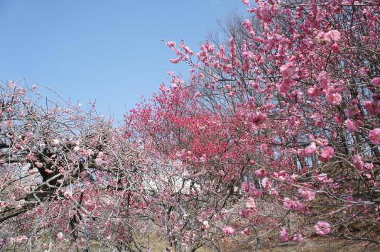 梅の里公園 しだれ梅