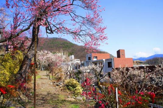 不老園 梅の花下段2