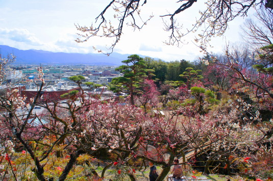 不老園 梅の花中段