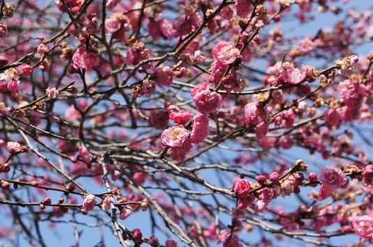梅の花 放光寺 梅の花アップ