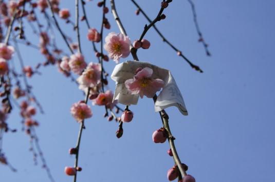 梅の花 放光寺 おみくじ