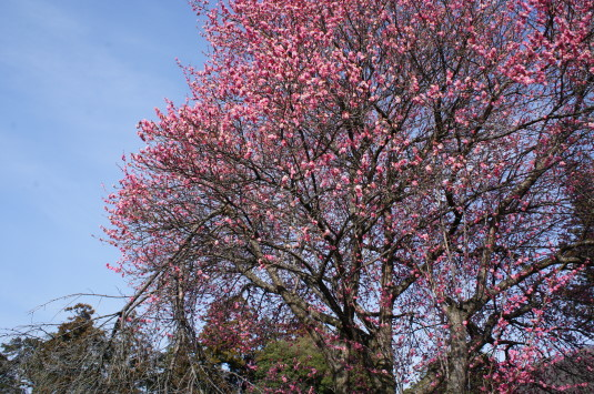 梅の花 放光寺 梅の花
