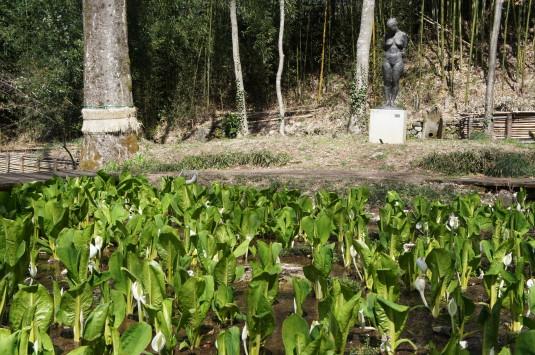 水芭蕉 藤垈の滝 群生