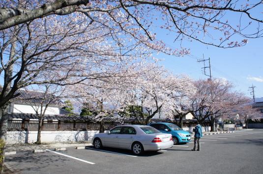 桜 妙泉寺 境内