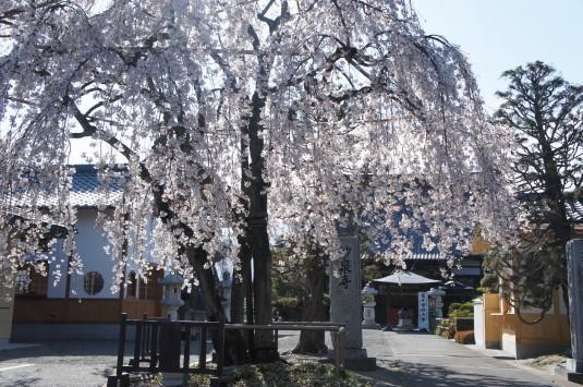 桜 妙泉寺 お寺向き