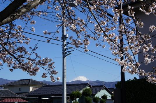 桜 妙泉寺 富士山
