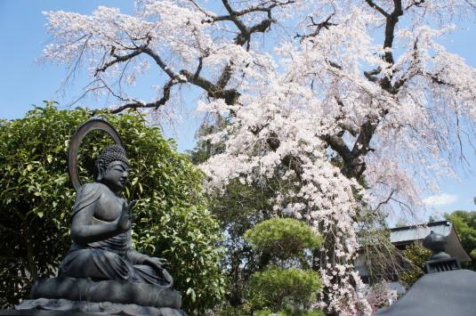 桜 鏡円坊 仏像と桜
