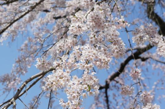 桜 鏡円坊 さくら