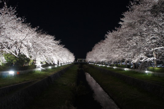 桜 小瀬スポーツ公園 川沿い