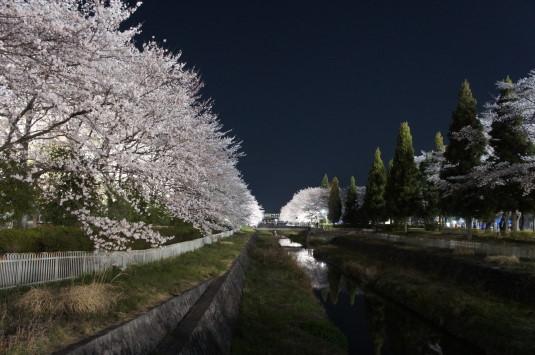 桜 小瀬スポーツ公園 川沿い 片方