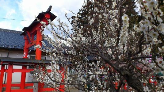 天神中条祭り 梅の花
