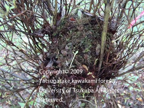 ヤマネの巣