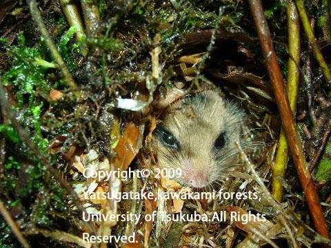 巣から顔を出したヤマネ