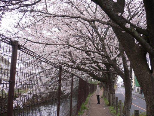 桜2P1050007