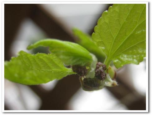 桑の芽ー1