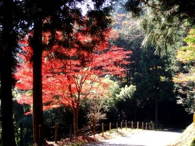 名栗は紅葉まっさかり@子の権現への林道で