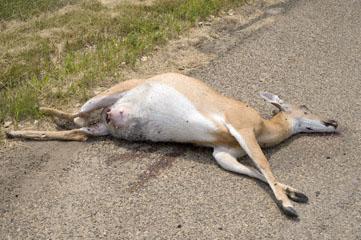 blog 94E Glendive, roadkill, deer_DSC4002-8.2.09 (1)