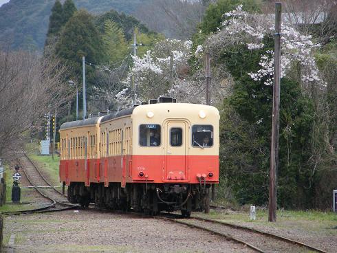 桜のトンネルをゆく小湊鉄道