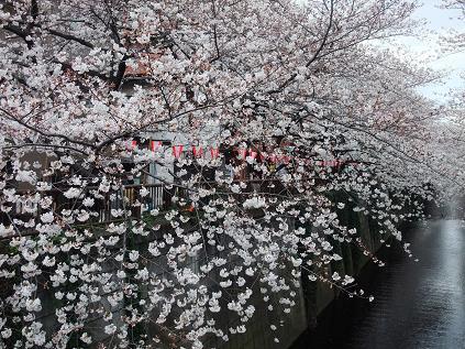 100400中目黒桜並木S15 007