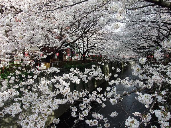 100400中目黒桜並木S15 003