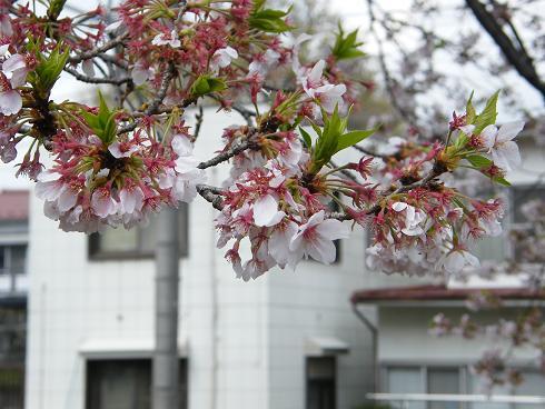 葉桜になりつつある東京の桜