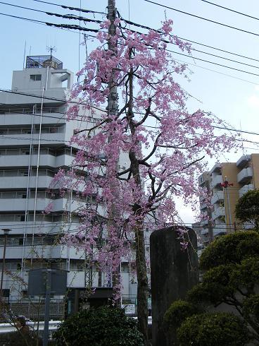 100410武蔵関の桜S15 042